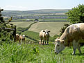 Cows Grazing in The Cornish Countryside